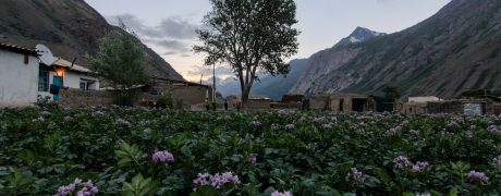 Potato field, Dehisor village, Upper Zarafshan aka Gornaya macha