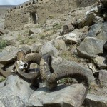 Ibex and marco Polo sheep horns in the Srines in Zong Village, Tajikistan