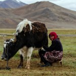Pamiri Kyrgyz Nomadic Girl and yak in Alichur valley, Pamir, Tajikistan
