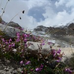 Plants on high altitude level, Fann mountains, Tajikistan